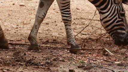 zebra eating food on dry ground
