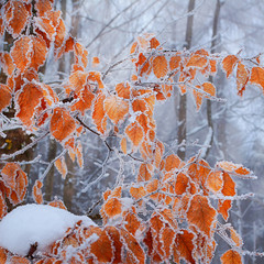 Frozen leaves on the beech branch