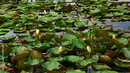 lotus group in pond in nature