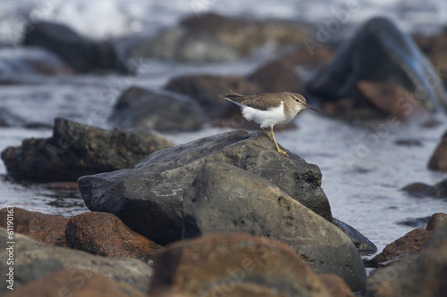 European Common Sandpiper- Actitis hypoleucos