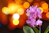 Closeup of the pink Orchid with background orange lights.