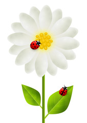 Red ladybugs on white flower