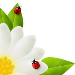 Red ladybugs on white flower