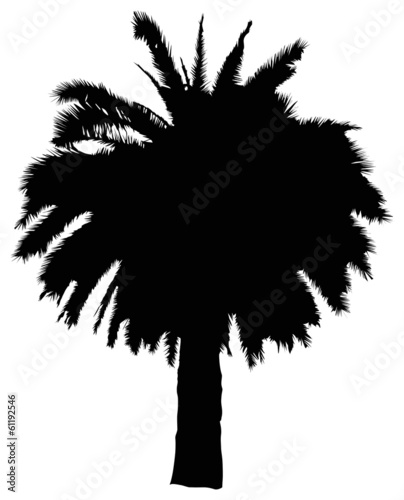 black large palm tree isolated on white - 61192546