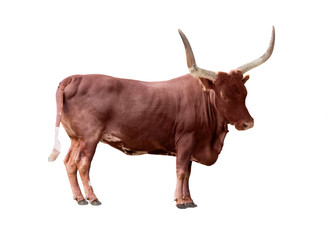 brown single bull isolated on white