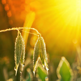fresh green grass and spikelets of oats in dewdrops, sunlit