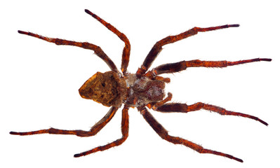 large brown spider isolated on white