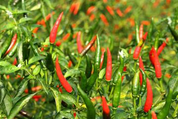 Fresh hot chili pepper on tree