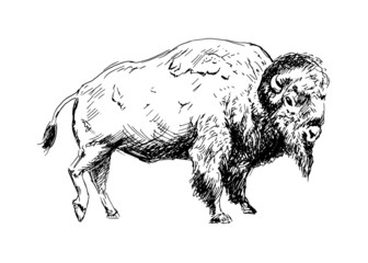 Hand drawing a bison. Vector illustration