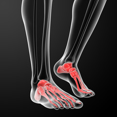 Human Skeletal  Feet - front view