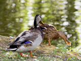 Pair of mallard ducks by the pond
