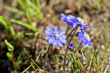 Flowering blue anemones in forest in spring.