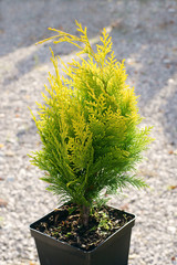 cypress - Chamaecyparis lawsoniana Golden Wonder