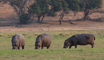 Hippopotamus group