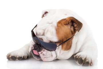 funny english bulldog in sunglasses