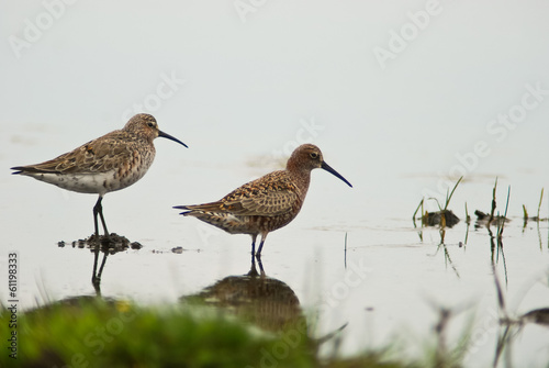 piovanello (Calidris ferruginea)