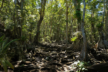 Trees roots in tropical jungle