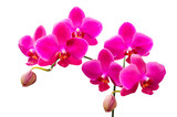 Vibrant colored lilac flowers of orchids