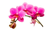 Isolated on white single branch of purple orchid flower