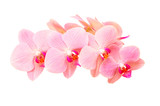 Pink orchid flowers with delicate purple spotted petals