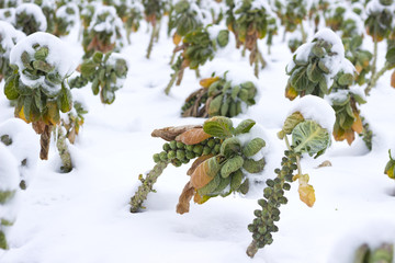 Fields with vegetables under the snow