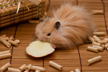 Hamster eats an apple