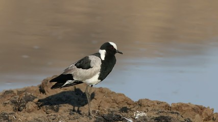Alert Blacksmith Lapwing standing at water edge