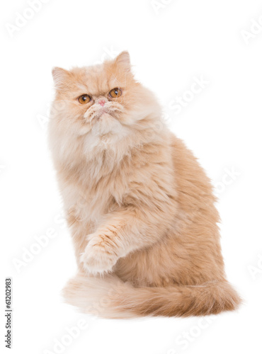 Persian cat on a white backround.
