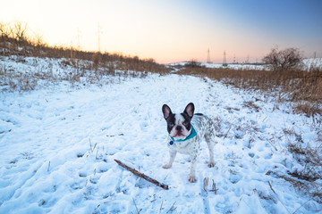 French bulldog on the walk in winter scenery