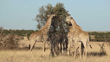 Giraffes (Giraffa camelopardalis) feeding on a tree