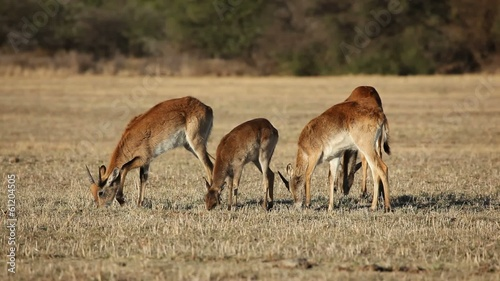 Red lechwe antelopes grazing in open grassland