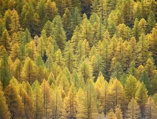 Larch background - autumn