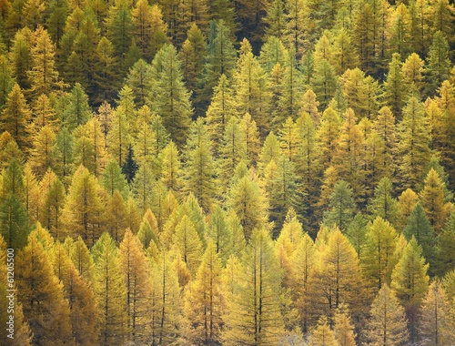Larch background - autumn