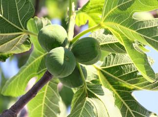 green figs on tree
