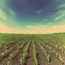 Pole kukurydzy - w stylu retro, vintage