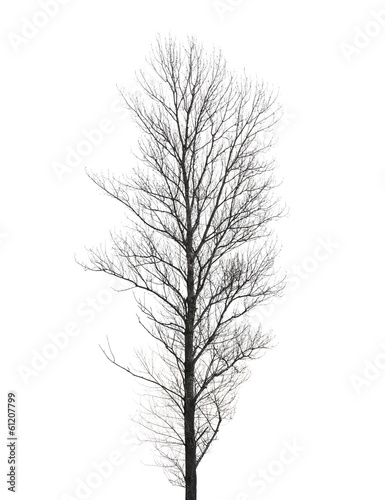 Tall poplar tree without leaves in winter isolated on white - 61207799