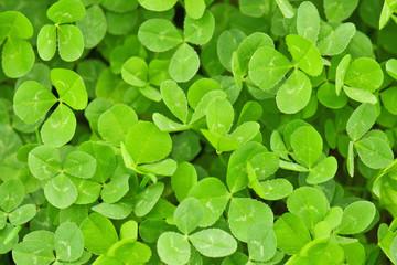 clover texture