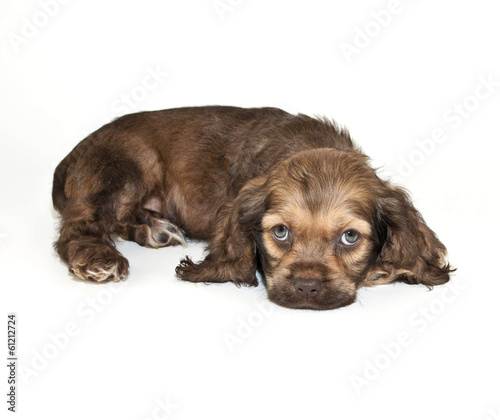 Cocker Spaniel Puppy