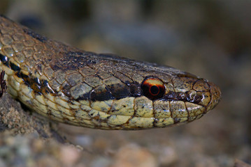 harmless snake Coronella austriaca