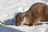 Young European otter (Lutra lutra lutra) in the snow