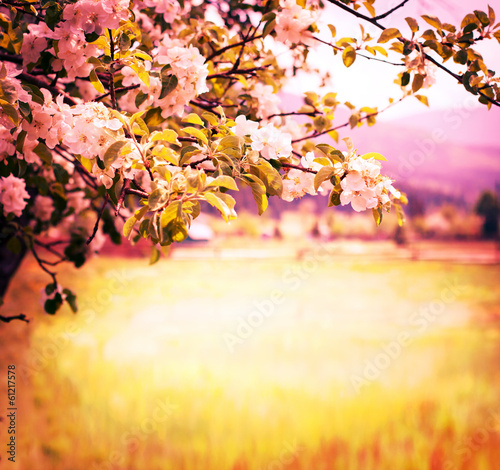 Apple blossoms over blurred nature background/ Spring flowers