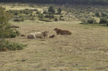 Vacas con crías