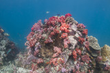 Colourful soft corals (Dendronephthya sp.)
