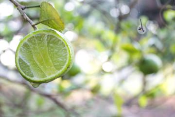 Fresh lime with green leaf.Lemon trees.