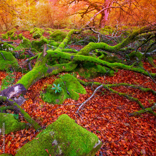 Autumn Selva de Irati beech jungle in Navarra Pyrenees Spain
