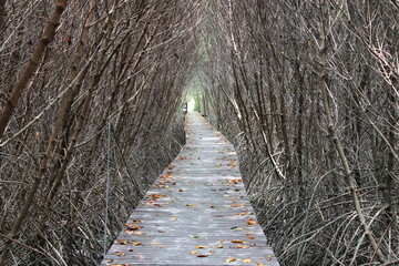 Path in the mangrove forest.