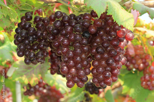 ripening red grape