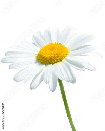 Foto op Canvas Madeliefjes Beautiful daisy isolated on white background