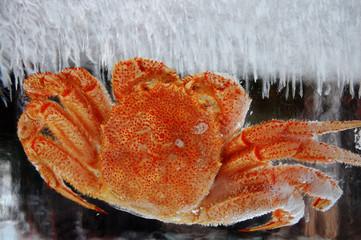 氷の中の蟹