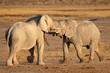 African elephants fighting, Etosha National Park